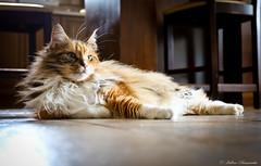 IMG_4901-1 (Helene Bassaraba) Tags: mainecoon bestofcats coth5