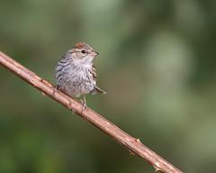 Chipping Sparrow-Juvenile (dennis_plank_nature_photography) Tags: avianphotography chippingsparrow thurstoncounty birdphotography naturephotography juevenile wa avian birds home littlerock nature