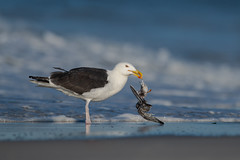 Raw Nature (nikunj.m.patel) Tags: nature wild wildlife commontern beach water nikon naturephotography raw