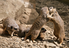 Family Squabble (Karls Kamera) Tags: meerkat wrestling fight squabble family lake district wildlife park