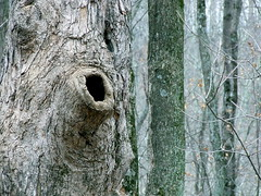 Halls Creek Woods State Nature Preserve Hollow Tree (Picsnapper1212) Tags: hollow den tree warrencounty ohio