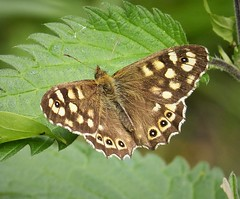 Speckled Wood. Pararge aegeria (gailhampshire) Tags: speckled wood pararge aegeria b