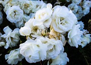 Carnations-2