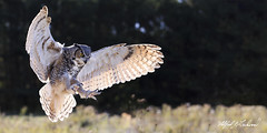 Great Horned Owl_T3W1887_Modified (Alfred J. Lockwood Photography) Tags: alfredjlockwood nature greathornedowl flight morning autumn backlight field canadianraptorconservancy canada crc ontario
