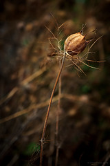 all thats left (rich lewis) Tags: macro macrophotography nature seedpod plantlife nigella richlewis