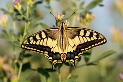 Swallowtail (Peter Quinn1) Tags: swallowtail butterfly tuscany papiliomachaon italy