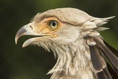 Secretarisvogel - Blijdorp, Rotterdam (mariandeneijs) Tags: secretarisvogel vogel bird blijdorp dierentuin diergaarde zoo rotterdam