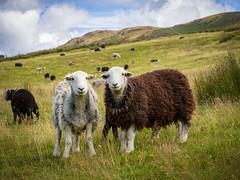 Smiling sheepishly, Herdwicks in Newlands (Bob Radlinski) Tags: cumbria england europe greatbritain herdwick lakedistrict newlands uk sheep travel em1c9031orf