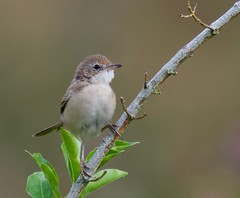 Juvenile Whitethroat (2 of 2) - Taken at Sywell Country Park, Sywell, Northants. UK. (Ian J Hicks) Tags: