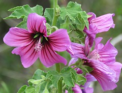 Mallow Flowers! ('cosmicgirl1960' NEW CANON CAMERA) Tags: flowers worldflowers nature parks gardens spain espana mijas pueblo andalusia costadelsol travel holidays yabbadabbadoo