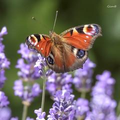 Mariposa pavo real (Aglais io) (lesxanes) Tags: mariposa butterfly aglaisio
