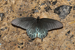 Pipevine Swallowtail - Battus philenor - Leslie County, Kentucky, USA - June 28, 2018 (mango verde) Tags: pipevineswallowtail battusphilenor papilionidae swallowtailsparnassians battus philenor butterfly swallowtail lesliecounty kentucky usa mangoverde