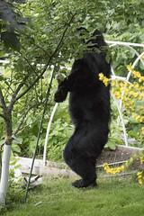 Bear selects Apple 107 (Gillfoto) Tags: bear bearcountry blackbear garden fruit picker