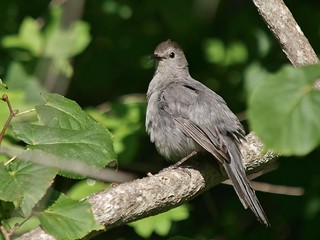 Gray Catbird Posing, Mackworth Island