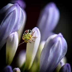 macro - insecte 10 (thierrybalint) Tags: plante nikon nikoniste fauneflore faune insecte ngc