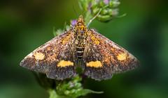 Micro Mint moth (Pyrausta aurata) (The Rustic Frog) Tags: micro moth purpuralis aurata mint herb warwickshire uk england central midlands garden herbs canon eos digital camera lens macro insect