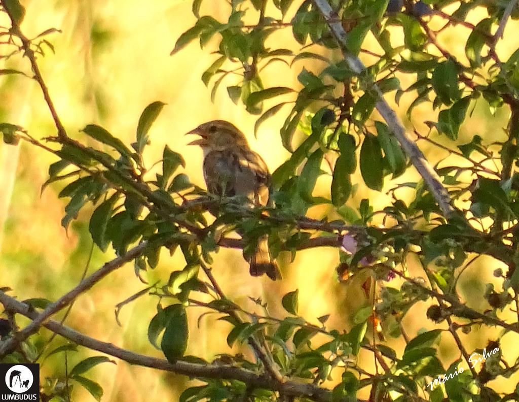 """Águas Frias (Chaves) - ... ave (Pardal-comum """"Passer domesticus"""") entre a folhagem ..."""