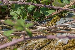 Very shy Adder view 1 (Matchman Devon) Tags: adder viper berus tobys path ringmore south hams devon