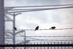 Little Birds & Power Lines (A_Renee_88) Tags: three birds power lines barbed wire cute but scary nature