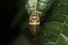 Hemiptera, Cercopidae sp. (Froghopper) - Kibale, Uganda. (Nick Dean1) Tags: animalia arthropoda arthropod hexapoda hexapod insect insecta hemiptera cercopidae froghopper uganda kibalenationalpark kibale