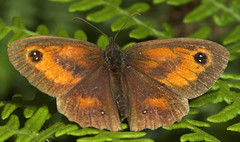 """Gatekeeper Butterfly (pyronia tithonus) • <a style=""""font-size:0.8em;"""" href=""""http://www.flickr.com/photos/57024565@N00/205014939/"""" target=""""_blank"""">View on Flickr</a>"""