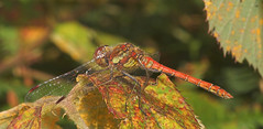 """Common Darter (Sympetrum striolatum)(18) • <a style=""""font-size:0.8em;"""" href=""""http://www.flickr.com/photos/57024565@N00/206410619/"""" target=""""_blank"""">View on Flickr</a>"""