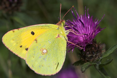 """Pale Clouded Yellow Butterfly (colias(4) • <a style=""""font-size:0.8em;"""" href=""""http://www.flickr.com/photos/57024565@N00/207190767/"""" target=""""_blank"""">View on Flickr</a>"""