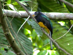 White-tailed Trogon(Trogon viridis)Trogon à queue blanche