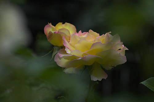 Rose in Pastels