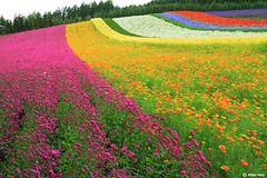 Colorful Garden (AllenHsu) Tags: topf25 japan hokkaido 2006   furano   farmtomita  colorfulgarden holidaysvacanzeurlaub
