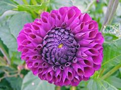 Purple Dalia (nicky's) Tags: nationaltrust clumberpark 12thaugust2006