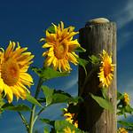 Muskoka Sunflowers