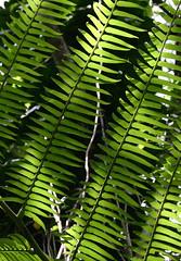 Ferns (Dan Zen) Tags: hawaii jungle ferns nodism