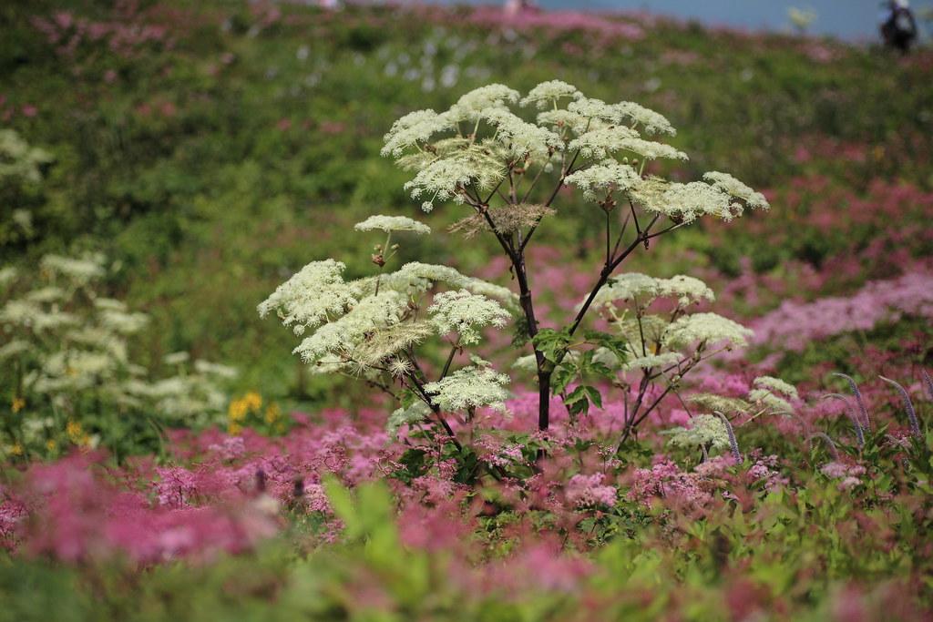 Angelica pubescens (Shishiudo)