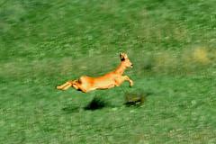 hovering deer (Jeri Peier) Tags: brown green nature grass animal geotagged schweiz switzerland tiere fly flying suisse swiss wildlife meadow wiese super superman deer gras float svizzera rennen reh tier hovering hover jeri 1on1 schnell geschwindigkeit olten fliegend schwebend specanimal starrkirch peier geo:lat=47350963 geo:lon=7925391 jeripeier superdeer schnelllauf bestnaturetnc06