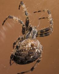 spider overheada three-01 (ChrisBrookesPhotography.co.uk) Tags: uk chris photography spider minolta 5d konica dynax overhead brookes invertebrate creepycrawly scoopt araneas cbrookes75 chrisbrookes