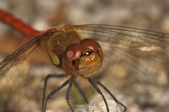 """Common Darter (Sympetrum striolatum)(15) • <a style=""""font-size:0.8em;"""" href=""""http://www.flickr.com/photos/57024565@N00/228281742/"""" target=""""_blank"""">View on Flickr</a>"""