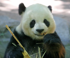 A very happy Gao Gao (kjdrill) Tags: california bear station giant zoo panda sandiego bears research sandiegozoo pandas endangeredspecies sdzoo gaogao fcawinner