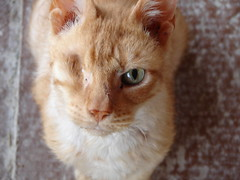 A Pirate (Tjflex2) Tags: orange cats canada beautiful loving vancouver furry kat feline chat bc aids blind fuzzy kate cancer richmond gato pirate views half kitties mao neko katze 500 shelter cath topv9999 biss topf100 3000 gatto soe kot sanctuary 1000 gat catt breathing kaz feral oneeye gatta keti kut kotka katti pisca kocka kotchka olena blueribbonwinner animalcare catti animalprotection koyangi fiv katas cc300 animaladdiction abigfave shieldofexcellence aplusphoto kittyschoice kottur thebiggestgroupwithonlycats kotuk perfectphotographer quttah chasul kaczer gggsky catnipaddicts