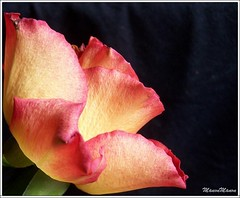 ...for MB...:) (ManonManon) Tags: light color macro nature beautiful rose 1025fav wow amazing womenonly gift lovely simple kiss2 1on1 kiss3 kiss1 kiss4 1on1flowers kiss5 kiss6 manonmanon abigfave 10n1macro