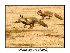foxy () Tags:  maitham khraibut kuwait nature kuwaitwildlife nikon  specanimal photo fans p1f1 artphoto art  artphoto kuwai phot  kuwaitphoto khuraibet alkhuraibet    kuwaitartphoto kuwaitart naturewatcher gulf arab    khraibutnet  adventure biker