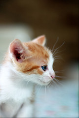 kitty (sausyn) Tags: cute beautiful cat puppy cub nice sweet bokeh profile young kitty newborn pup lovely piccolo rosso gatto bianco cucciolo gattino profilo occhiazzurri