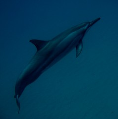 spinner dolphin off north maui (bluewavechris) Tags: ocean life blue sea water mammal hawaii marine underwater dolphin spin diving maui snorkeling fin reef creature flipper