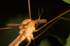 """Close up of a Cranefly (Tipula oleracea) • <a style=""""font-size:0.8em;"""" href=""""http://www.flickr.com/photos/57024565@N00/237006677/"""" target=""""_blank"""">View on Flickr</a>"""