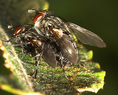 "Mating Flesh Flies (Sarcophaga carnar(4) • <a style=""font-size:0.8em;"" href=""http://www.flickr.com/photos/57024565@N00/237011576/"" target=""_blank"">View on Flickr</a>"