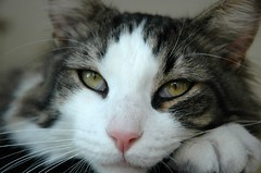 Gordo posing....... (Margot) Tags: cats cat paw whiskers gordo margotpouw ggg02 margot