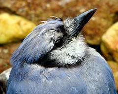 hunkered down (mimbrava) Tags: blue bird topf25 birds topv111 1 interesting topf50 topv555 topv333 jay adult head topv1111 topv999 interestingness1 bluejay mimbrava topv777 cyanocittacristata specanimal animalkingdomelite abigfave setexplorepage setbirds setflickrfavorites akiconoftheweek avianex