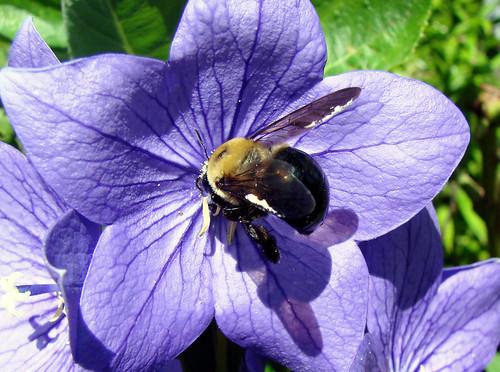 beeballoonflower2
