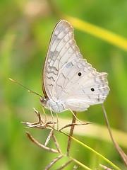 si parece una mariposa, es una mariposa - by ruurmo