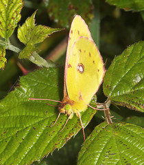 """Pale Clouded Yellow Butterfly (colias(3) • <a style=""""font-size:0.8em;"""" href=""""http://www.flickr.com/photos/57024565@N00/243686691/"""" target=""""_blank"""">View on Flickr</a>"""